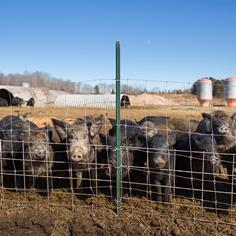 Facing Up to the Russian Boar Problem in Michigan