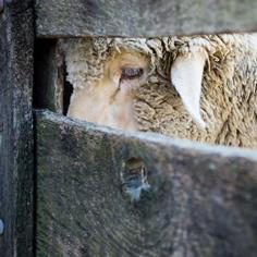 Baaa, Humbug: Can Americans Find an Appetite for Lamb?